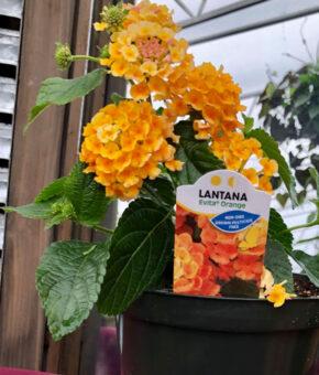Lantana Evita Orange