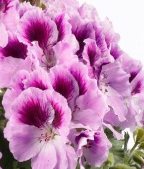 Geranium- Darko Lavender with eye