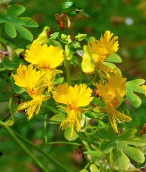 Canary Nasturium Vine