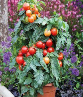 Summerlast Patio Tomato